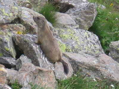 Alpine marmot, from up close.