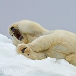 Polar Bear  (Ursus arctos) stretching Svalbard