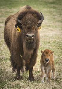 This spring's first bison baby was born on April 20. Photo: Reidar Hahn